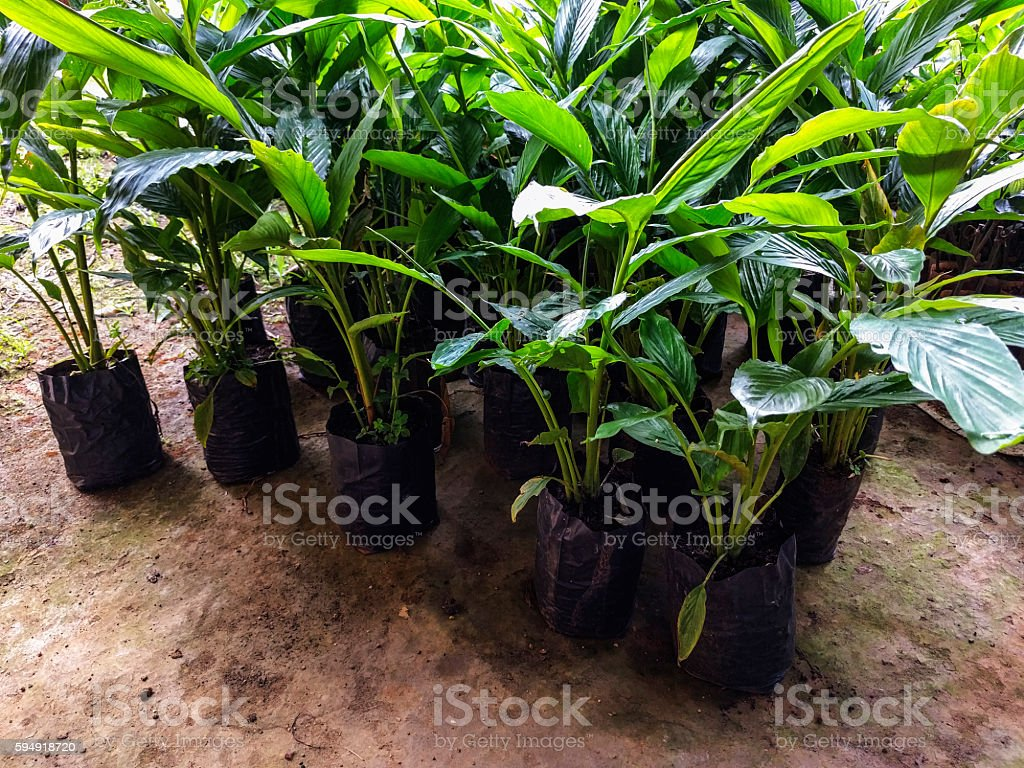 Cardamom plants stock photo