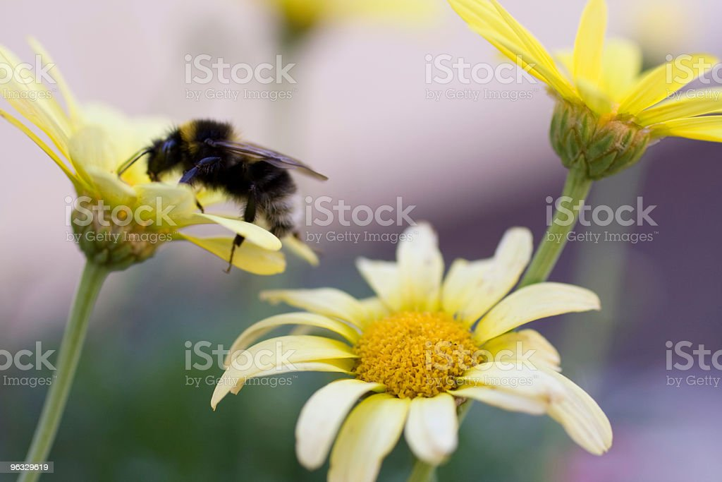 Carder Bee at work stock photo