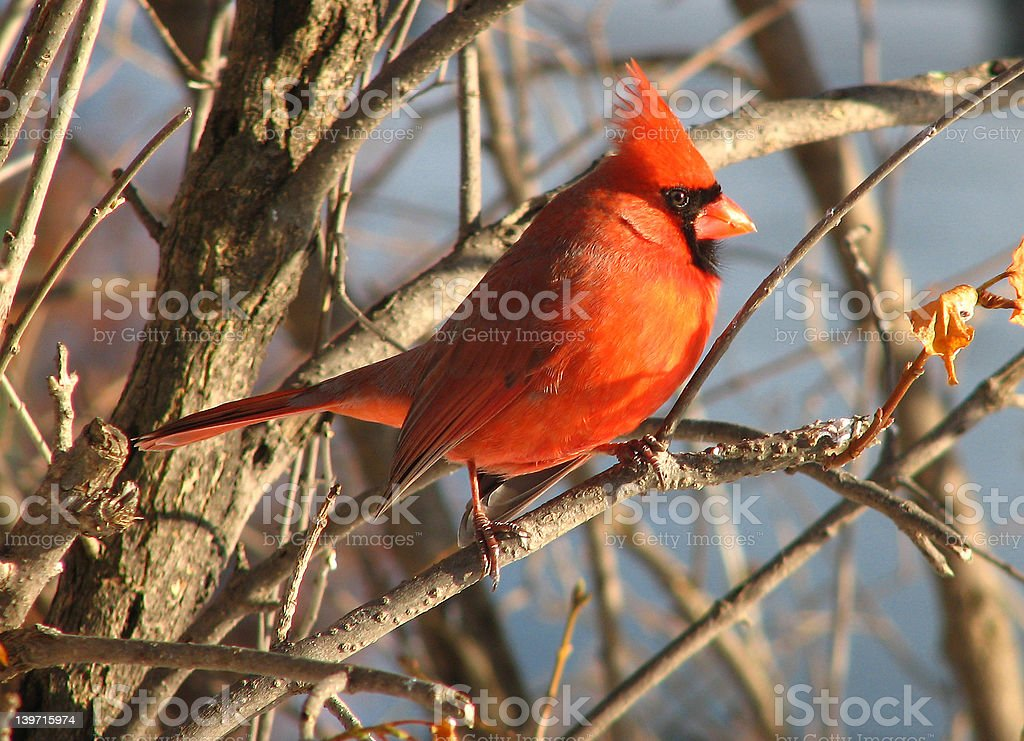 Cardinal - 9 royalty-free stock photo