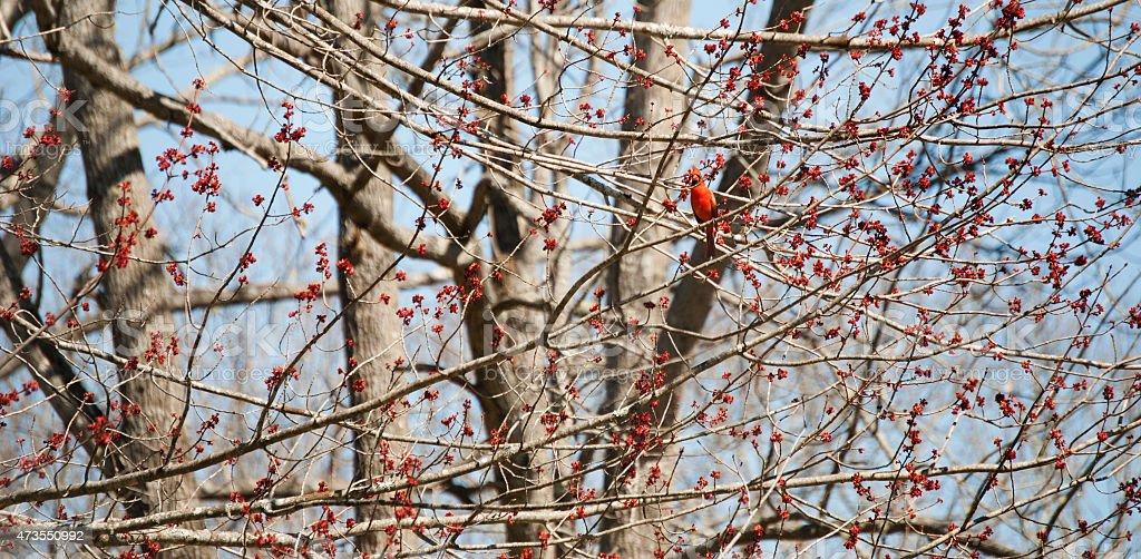 Cardinal alongside red blossoms stock photo