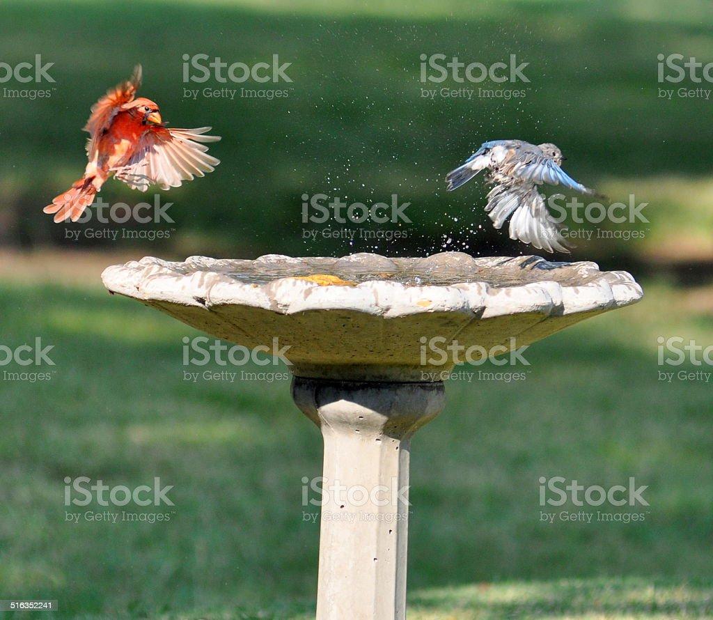 Cardinal bounces bluebird de baño para pájaros foto de stock libre de derechos
