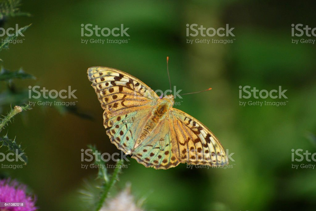 Cardinal cloak butterfly stock photo