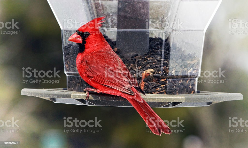 Cardinal feeding stock photo
