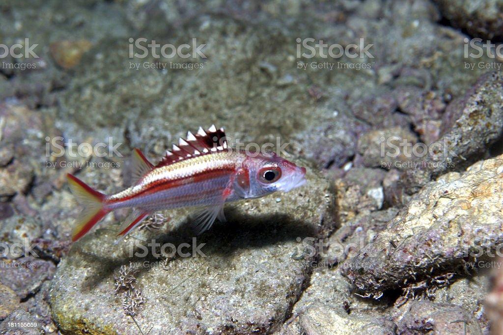 Cardinal Fish at Night royalty-free stock photo
