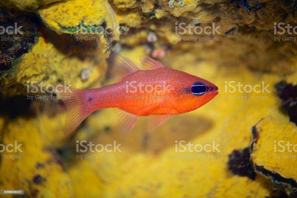 Cardinal fish (Apogon imberbis) stock photo