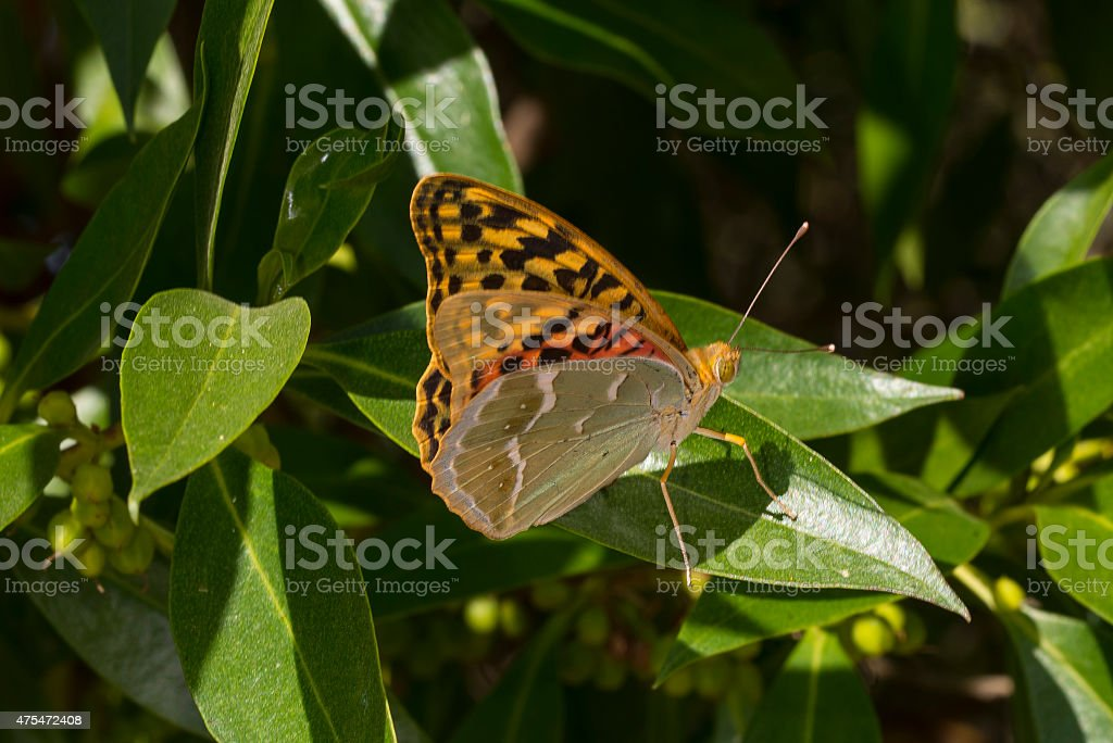 Cardinal Fritillary butterfly on leaf royalty-free stock photo