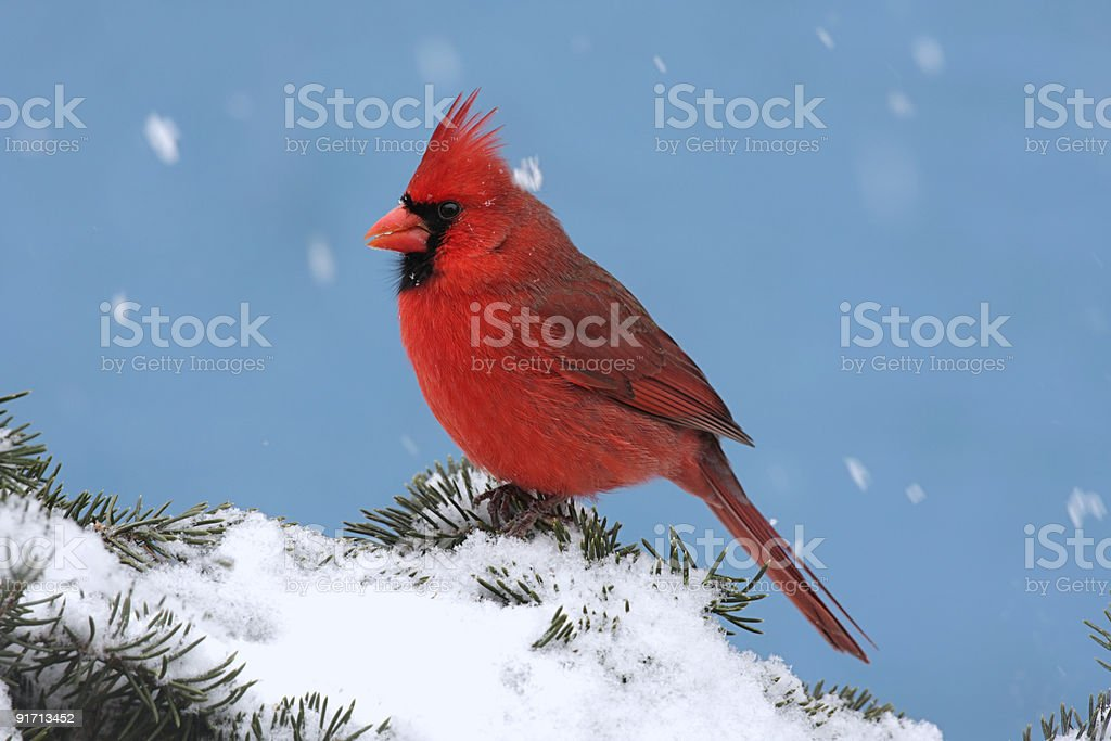 Cardinal In A Snow Storm royalty-free stock photo