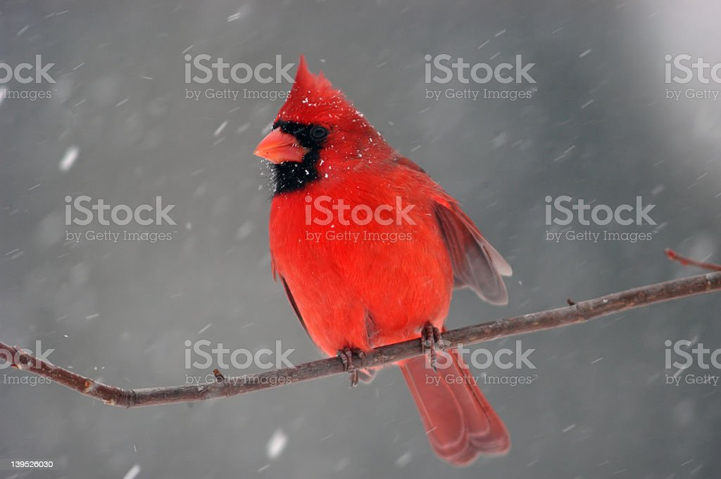 Cardinal in a snowstorm stock photo