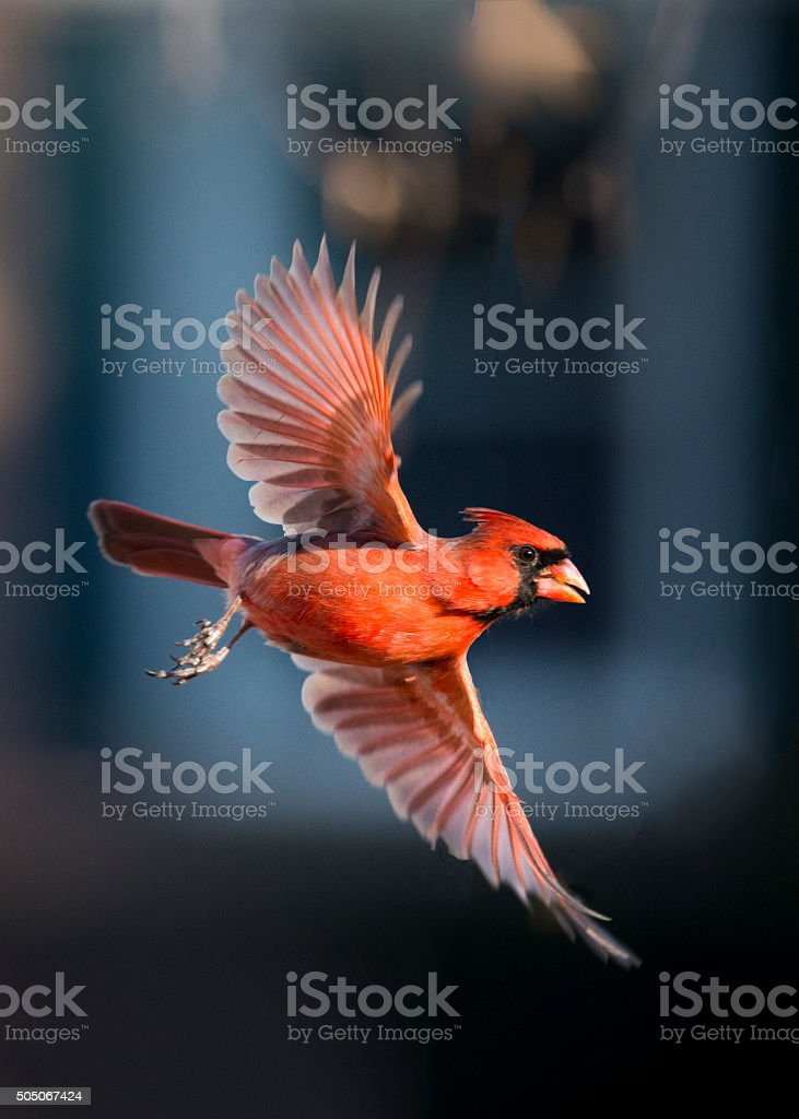Cardinal in Flight stock photo