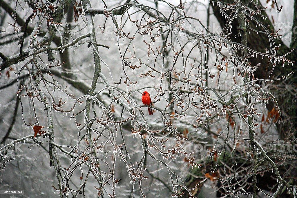 Cardinal in Ice stock photo