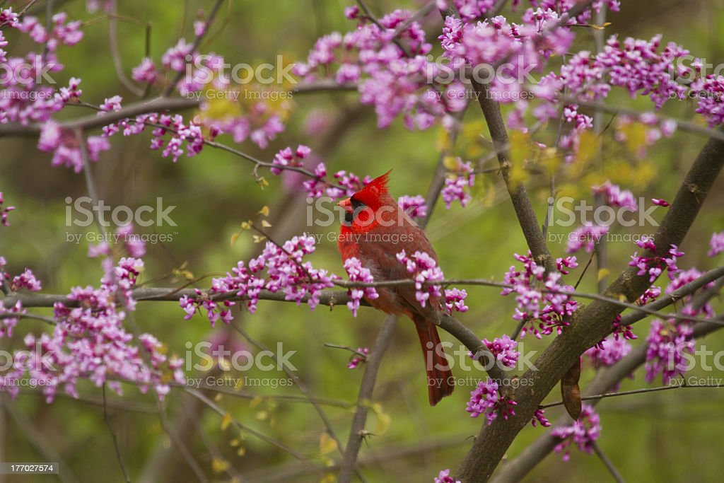 Cardinal in Red Buds stock photo