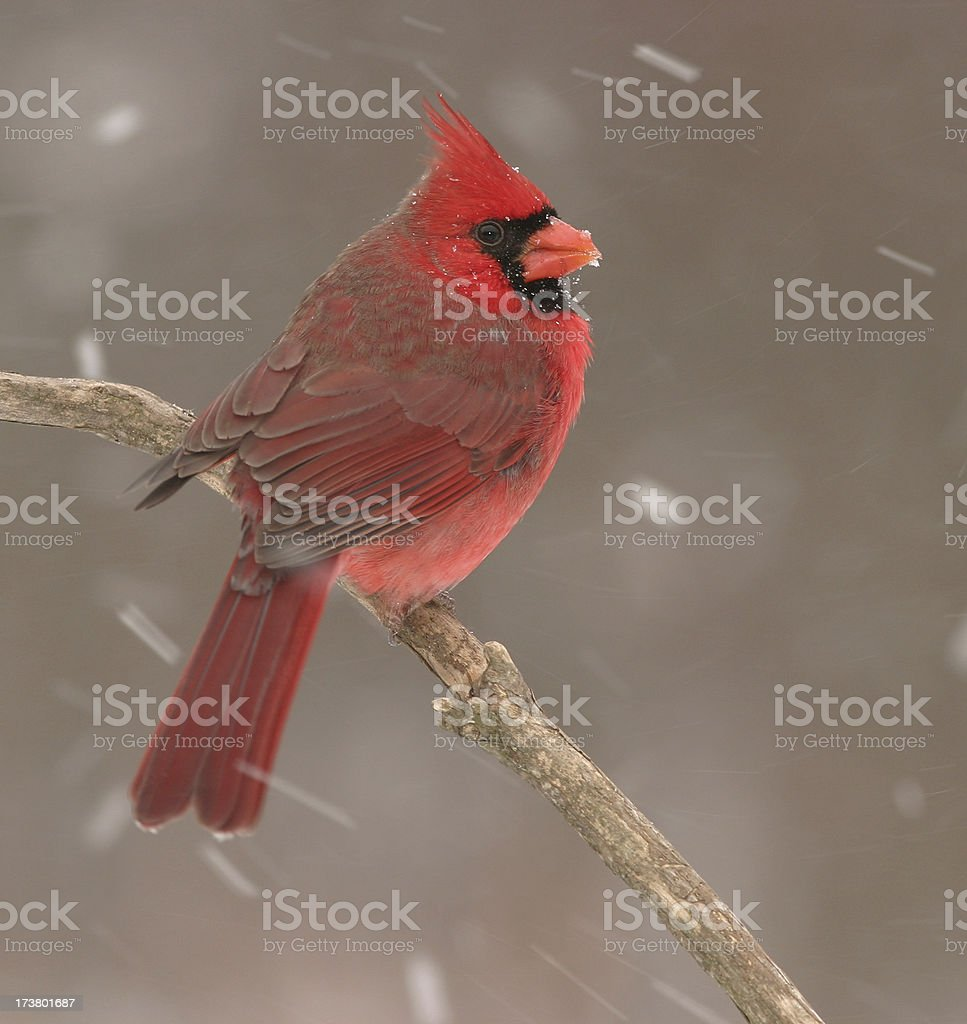 Cardinal in Snow royalty-free stock photo