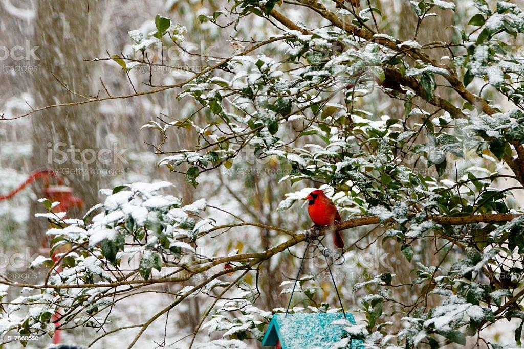 Cardinal in Snow Storm stock photo