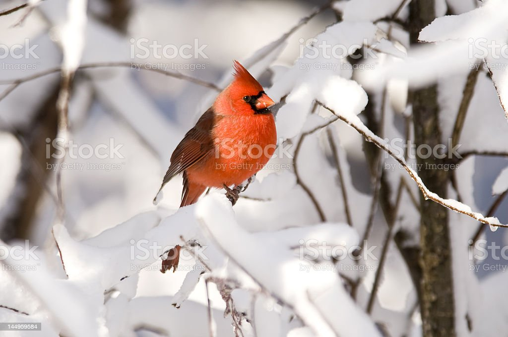 Cardinal in the snow royalty-free stock photo