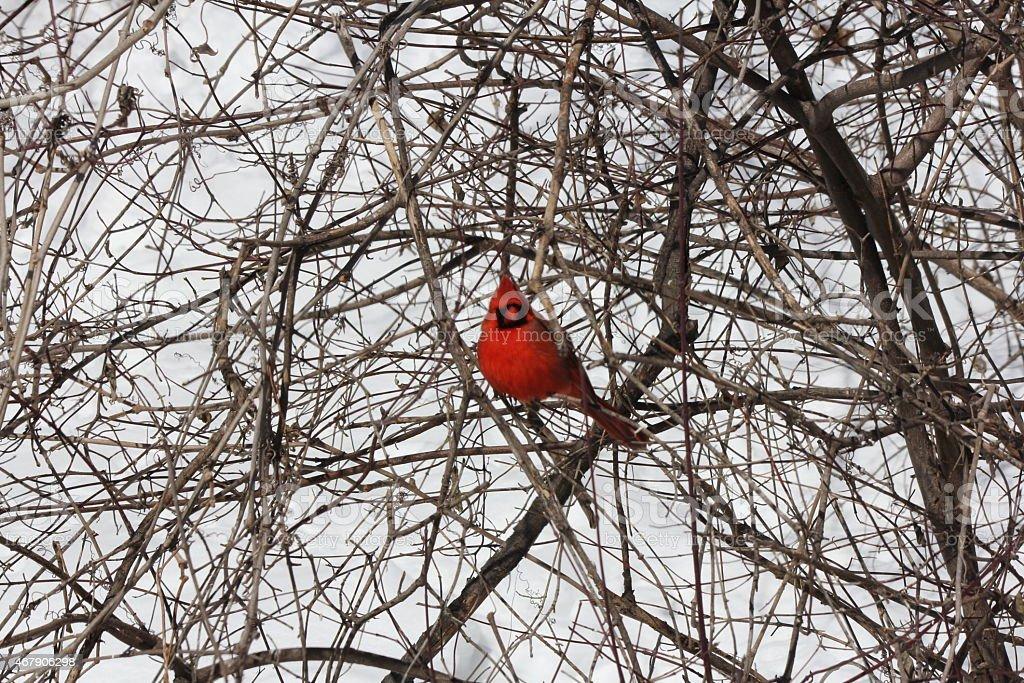 Cardinal, Northern (Cardinalis cardinalis) stock photo