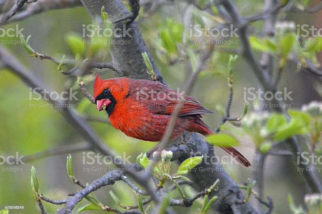 Cardinal on a Branch royalty-free stock photo