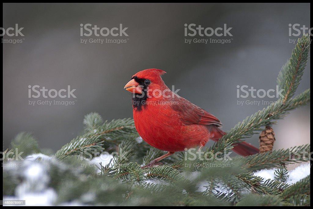 Cardinal on Pine tree stock photo