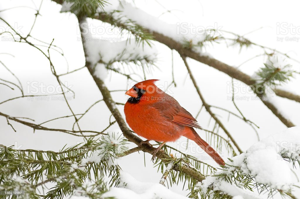 Cardinal perched in an evergreen after snowstorm royalty-free stock photo