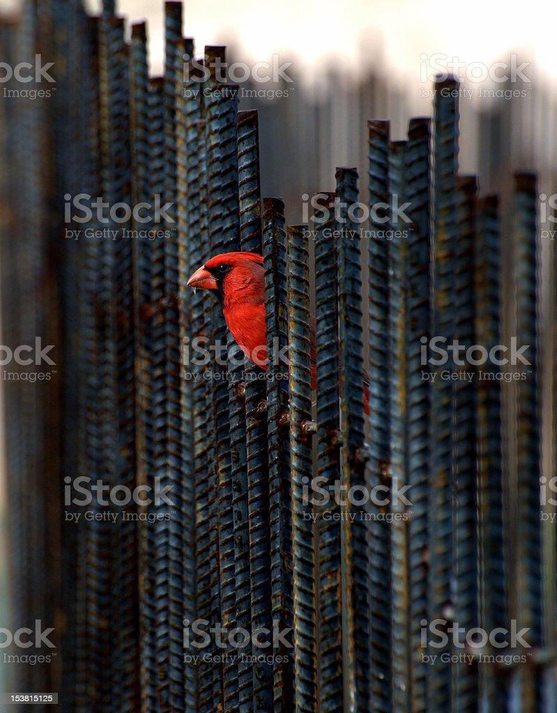 Cardinal royalty-free stock photo