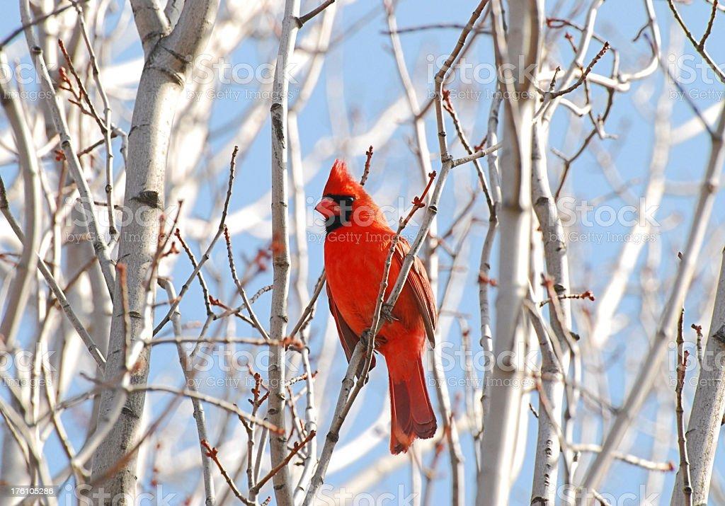 Cardinal stock photo