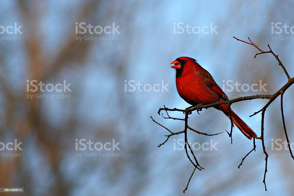 Cardinal Singing stock photo