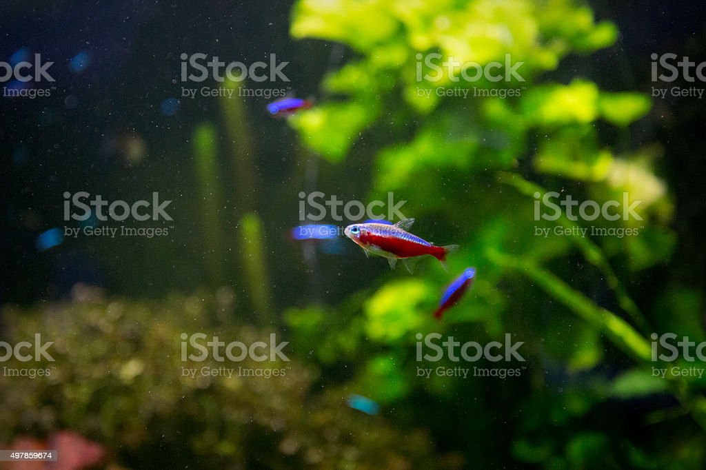 Cardinal tetra fishes stock photo