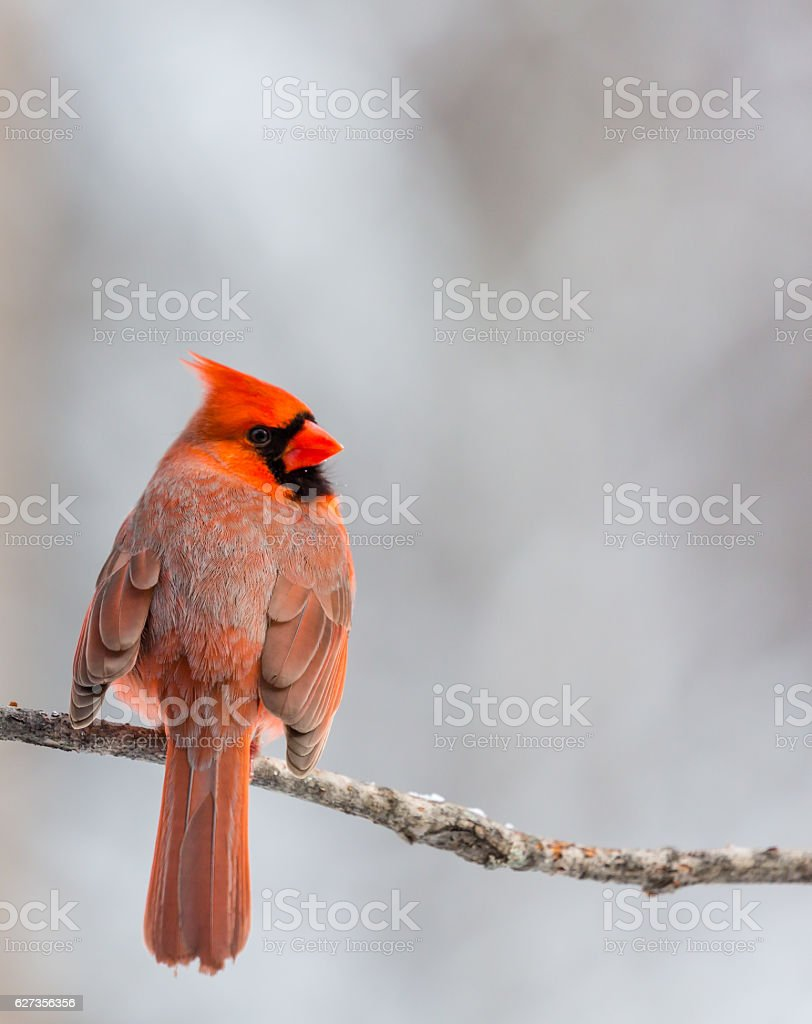 Cardinal with Wings Fluffed stock photo