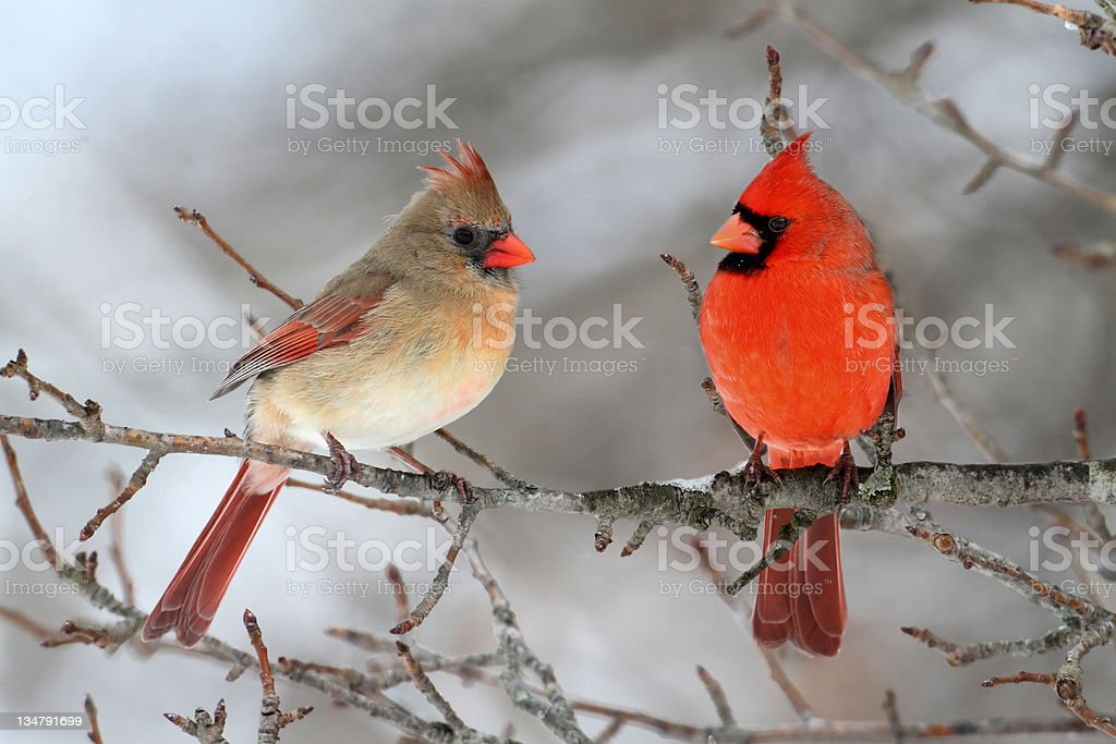 Cardinals In Snow royalty-free stock photo