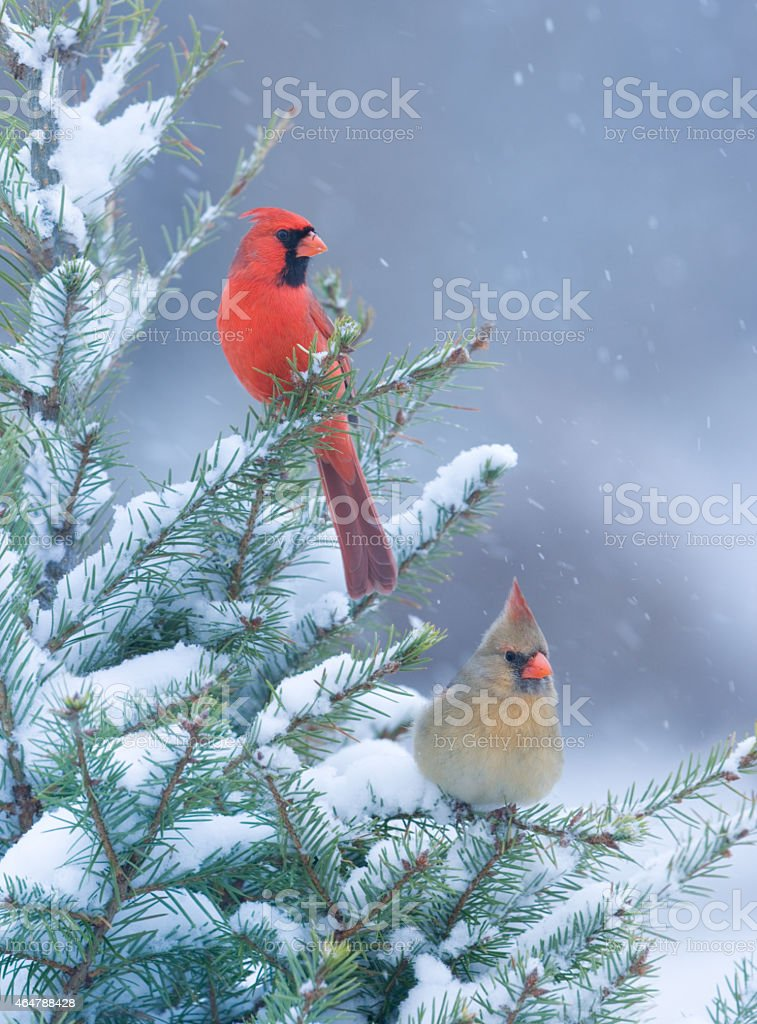 Cardinals in Winter stock photo