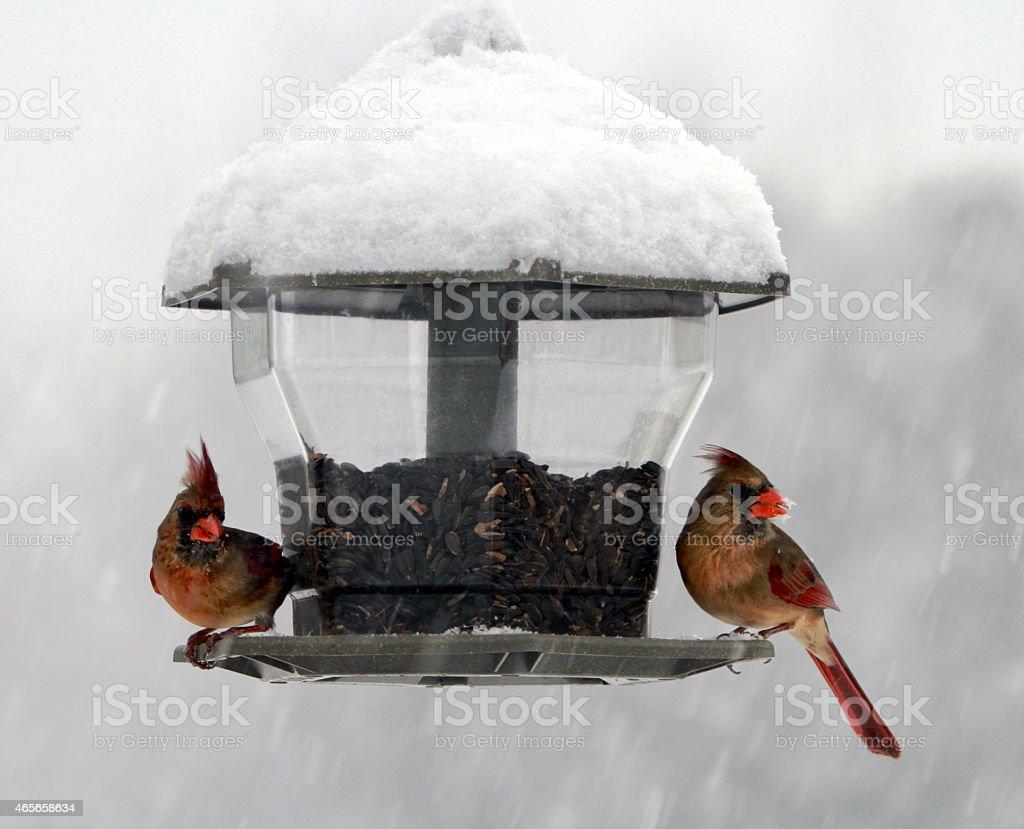 Cardinals stock photo