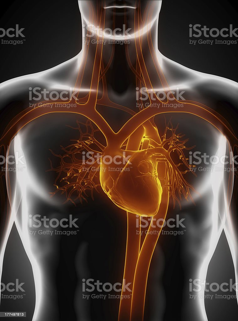 Cardiovascular system with heart stock photo