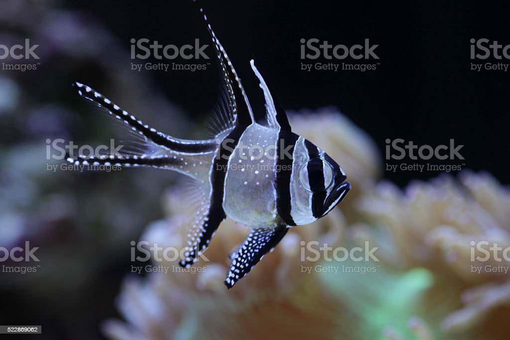 Cardnial fish in coral environment stock photo