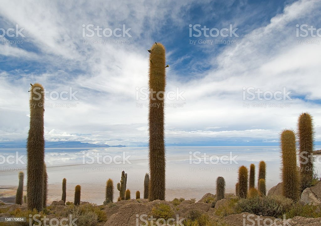 Cardon cactus at Isla de Pescado, bolivia royalty-free stock photo