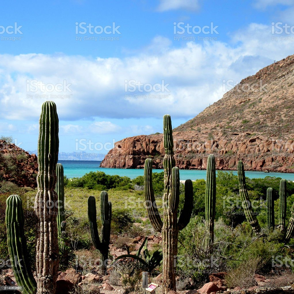 Cardon cactus desert in Baja California stock photo