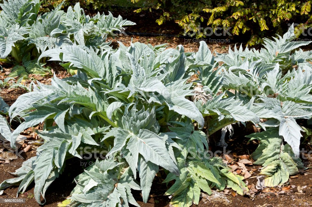 Cardoon at Early spring stock photo