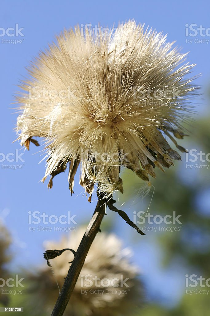 Cardoon - Cynara cardunculus L royalty-free stock photo