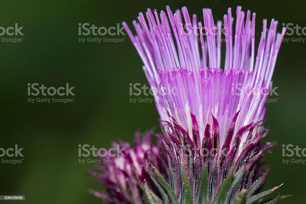 cardoon flower close up macro stock photo