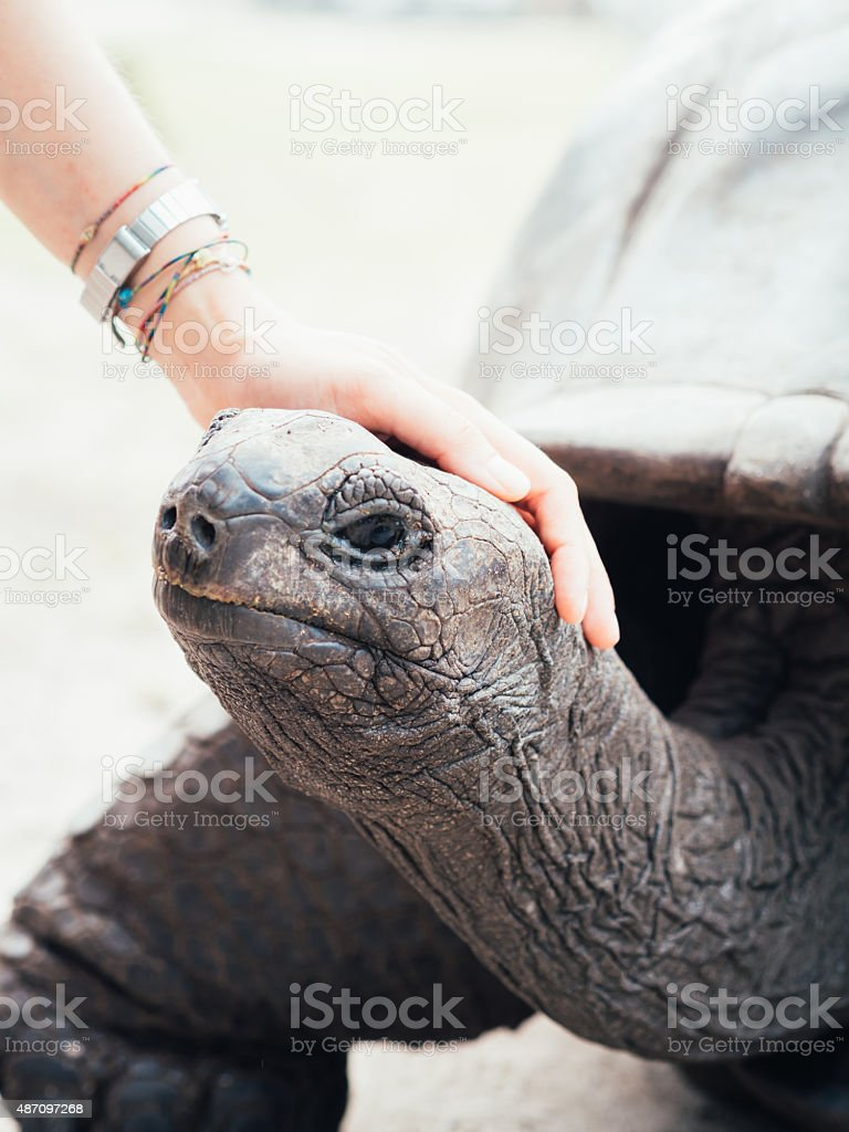 Caressing A Giant Turtle stock photo