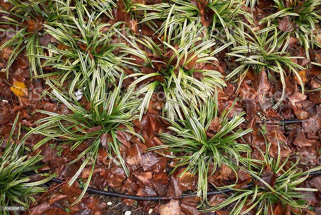Carex morrowii stock photo