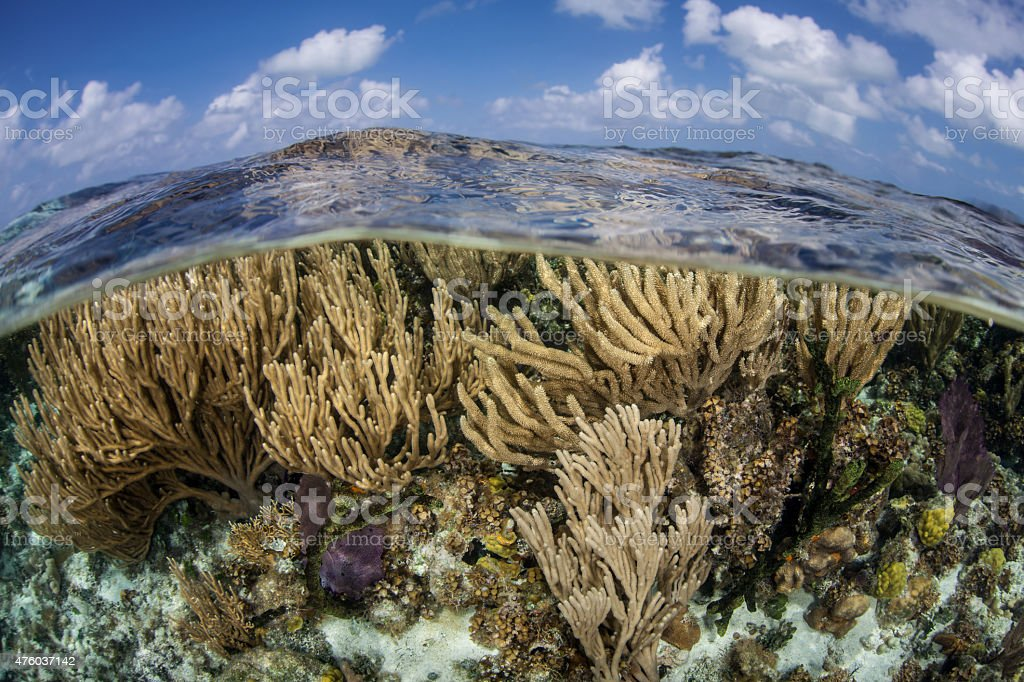 Caribbean Corals in Shallow Water stock photo