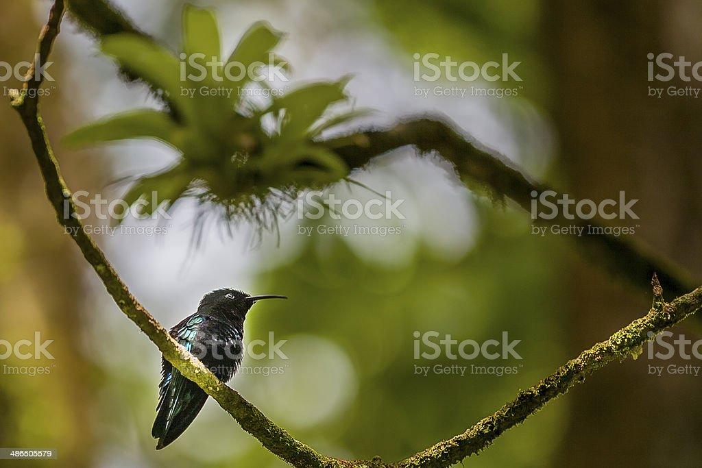 Caribbean Emerald Hummingbird stock photo