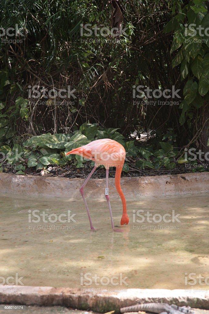 Caribbean Flamingo in Xcaret, Mexico stock photo
