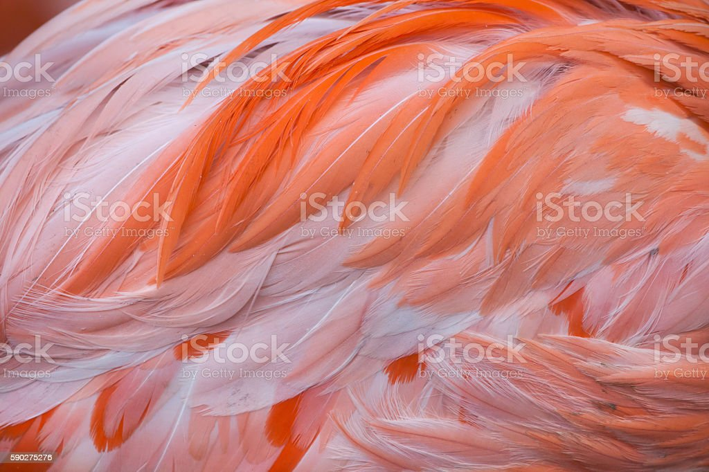 Caribbean flamingo (Phoenicopterus ruber) stock photo