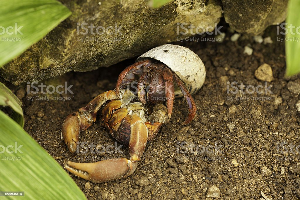 Caribbean Hermit Crab (Coenobita clypeatus) royalty-free stock photo