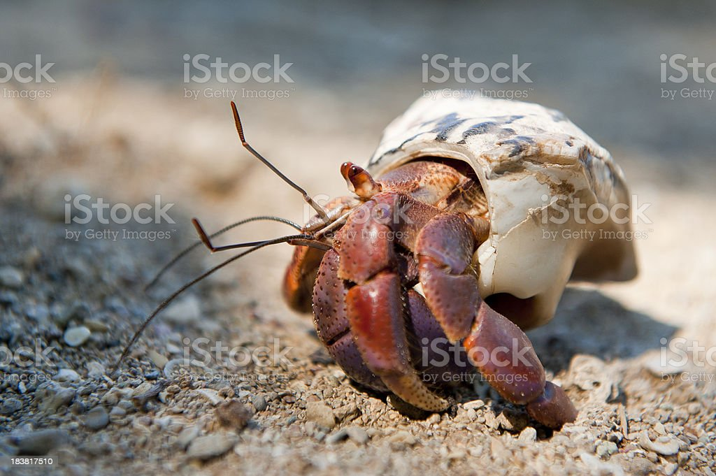 Caribbean Hermit Crab royalty-free stock photo