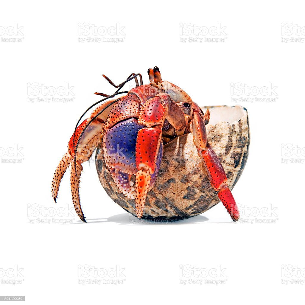 Caribbean Hermit Crab stock photo