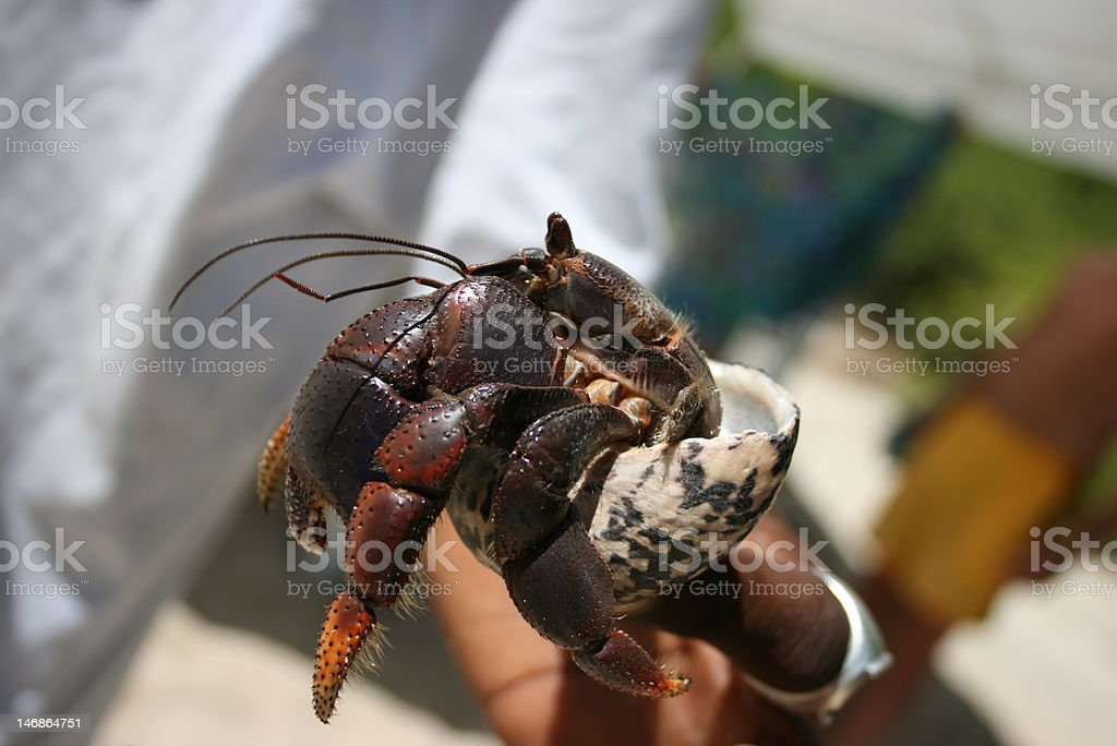 Caribbean Hermit Crabs royalty-free stock photo