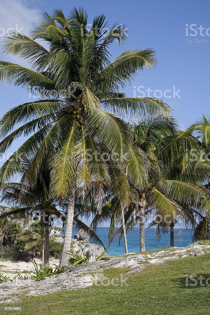 Caribbean Palm stock photo