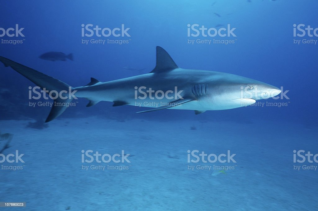 Caribbean Reef Shark royalty-free stock photo