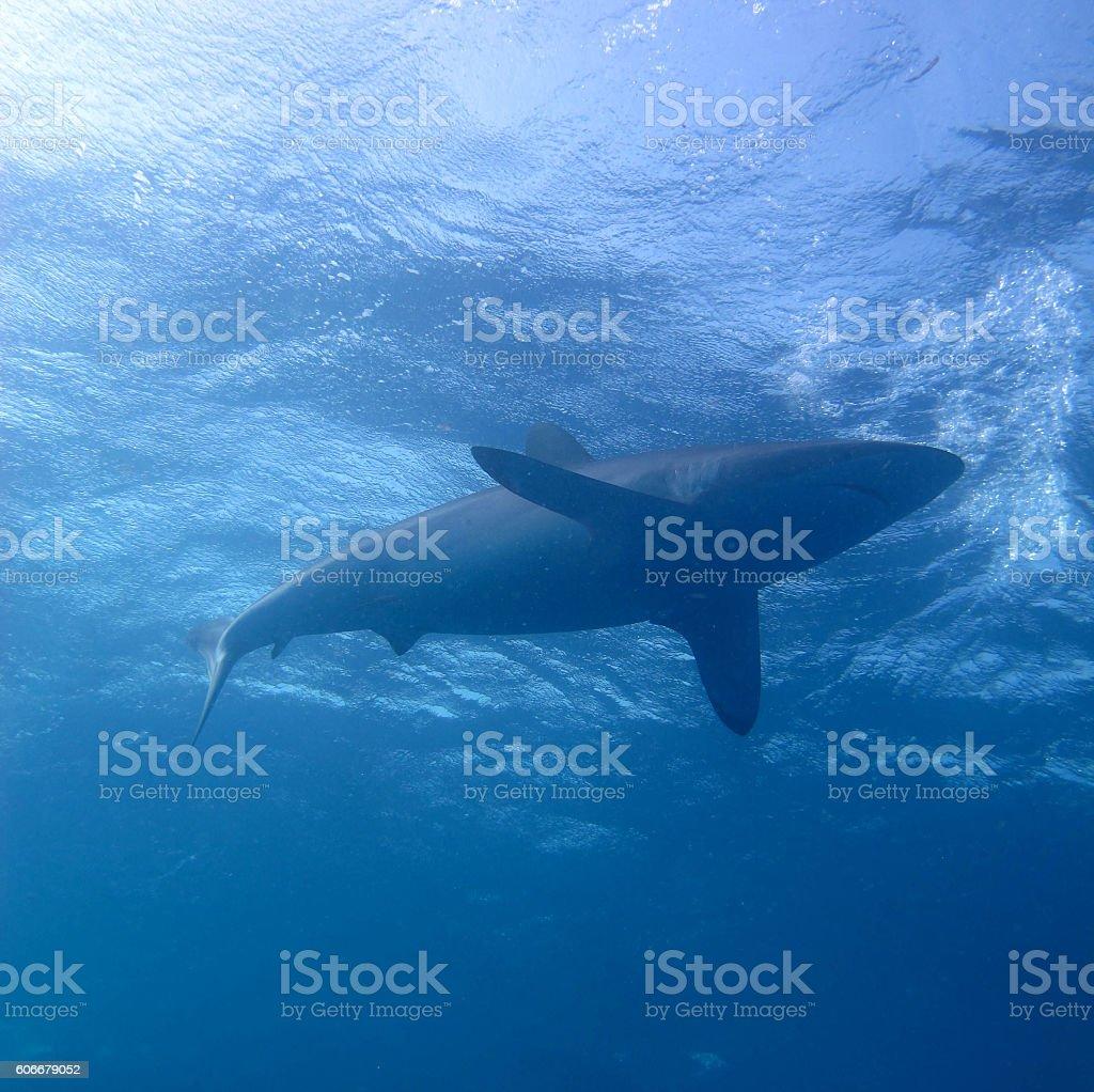 Caribbean Reef Shark stock photo